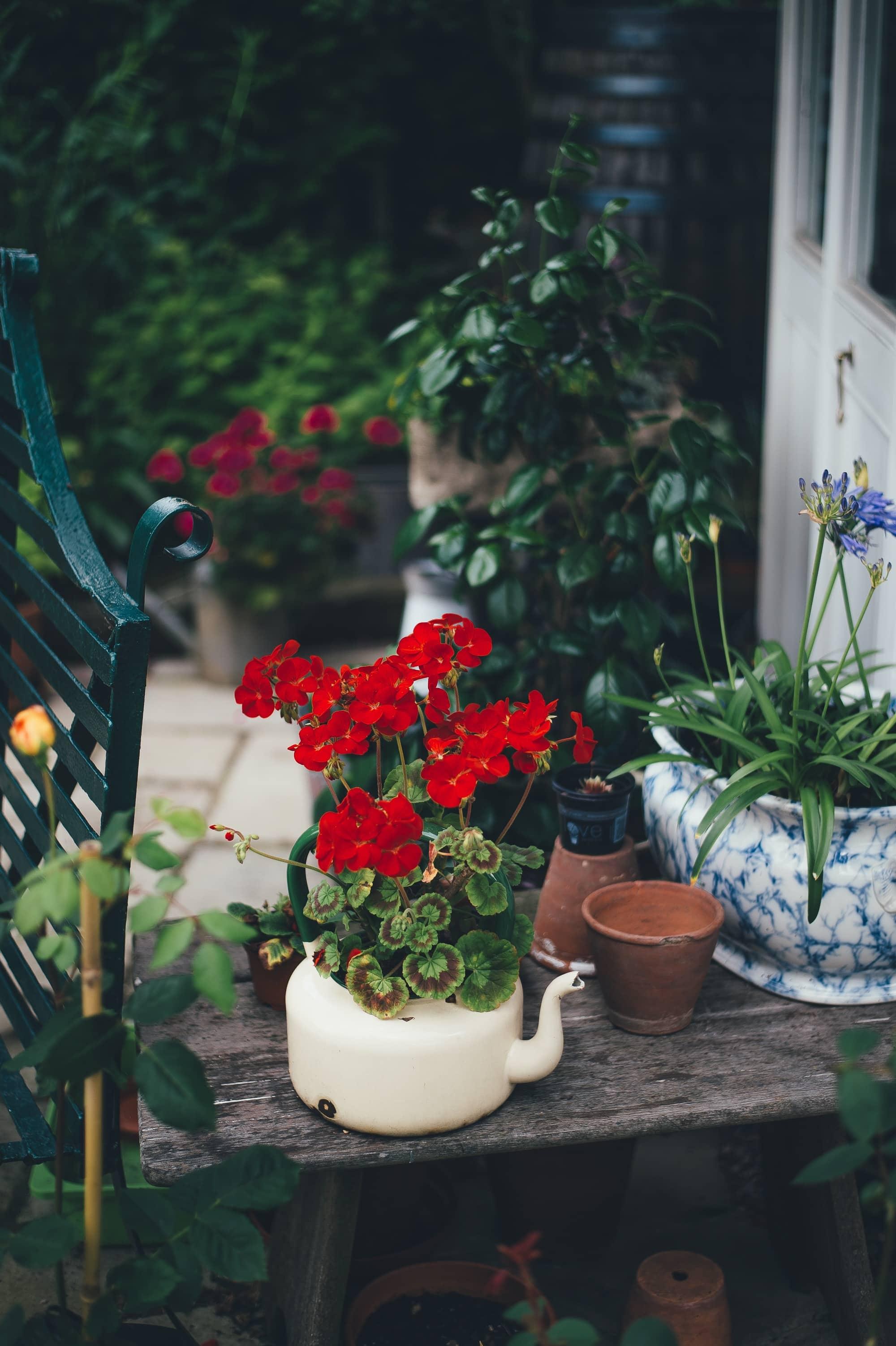 Pots plantes théières avec fleurs rouges